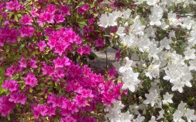 あの赤い花もこの白い花もつつじ? 俵万智さんの子育て歌集 ~たんぽぽの日々~より